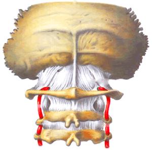 Позвоночные артерии проходят в поперечных отростках шейных позвонков, Боли в шее, боли в затылке, боли в руке, остеохондроз шейного отдела позвоночника, боль в руке, боль в шее, боль между лопаток, слабость в руке, шаткость при ходьбе, головокружение, шум в ушах, вертебробазилярная недостаточность, повреждение межпозвонкового диска, ВБН, Хр. ВБН, боли в шее, продуло шею, переохлаждение шеи, стреляет в шею, шейная боль, дискомфорт в шее, шейный остеохондроз, шейный остехандроз, лечение шеи, лечение шейного отдела, лечение шейного остеохондроза, лечение боли в шее, лечение шейного прострела, лечение шейного позвонка, лечение шейного отдела позвоночника, лечение шейного остеохондроза позвоночника в Москве, лечение шейного отложения солей, отложение солей в шее, отложение солей в шейном отделе, больно поворачивать голову, больно поворачивать шею, больно наклонять голову, больно наклонять шею, больно вертеть шею, больно вертеть голову, прострел в руке, треск в шее, хруст в шее, острая травма шеи и шейно-затылочного перехода.